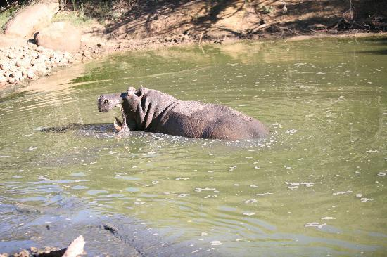 Shamwari Game Reserve, South Africa: Not so friendly Hippo, time for reverse
