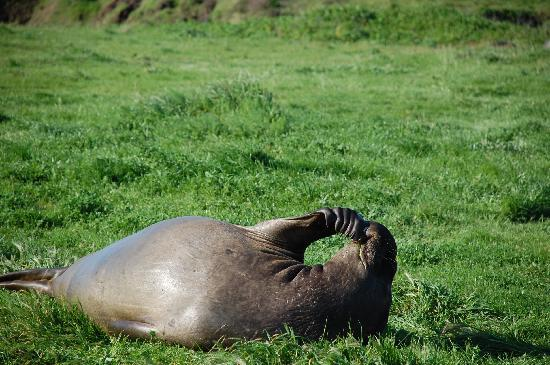 Elephant seal 10 minutes up the highway