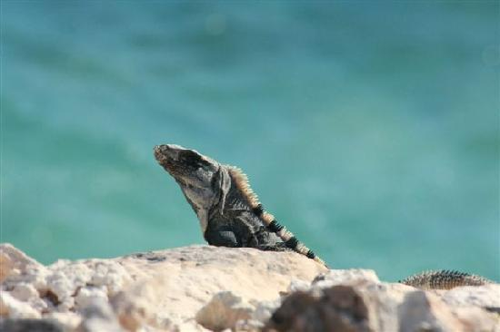 Casa de Morgan: iguana's sun themselves daily on the cliff