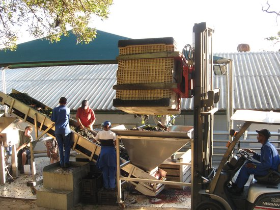 Diemersfontein Country House: Hand sorting freshly picked grapes.