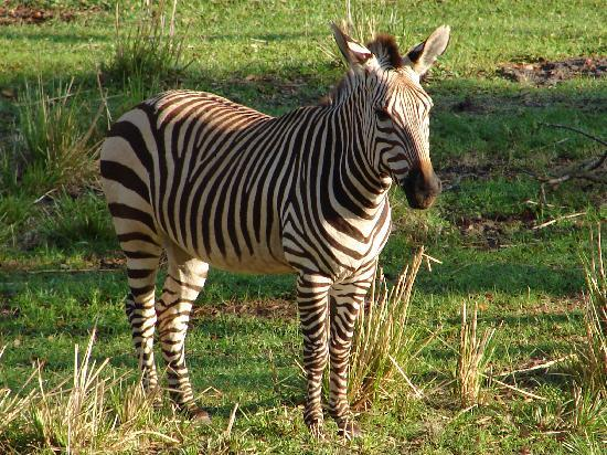 Disney's Animal Kingdom Lodge: Zebra in the grounds