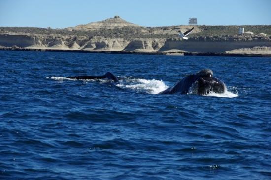 Puerto Piramides, Αργεντινή: Balena Franco-Australe