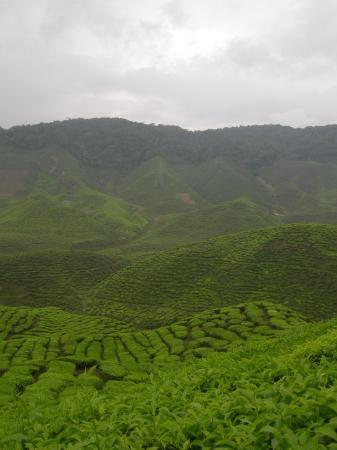 Tanah Rata, Malaisie : Cameron Highlands tea plantation.