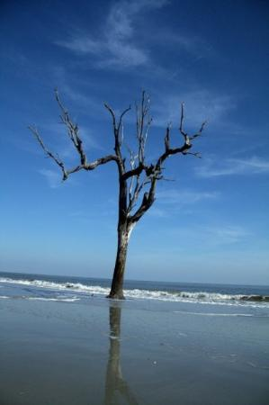 Hunting Island State Park: The Lone Tree 4 Tilt - This lone tree poses against the tides of time. The beach is slowly erode