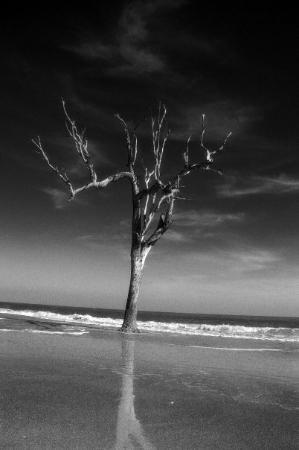 Hunting Island State Park: The Lone Tree 4 BW Tilt - This lone tree poses against the tides of time.  The beach is slowly e
