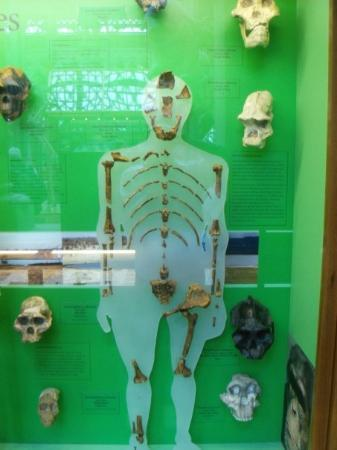 Oxford University Museum of Natural History: The famous Lucy