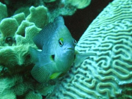Buddy Dive Resort: Damsel fish- they get real territorial and they get all up in your face lol- makes for cool pict