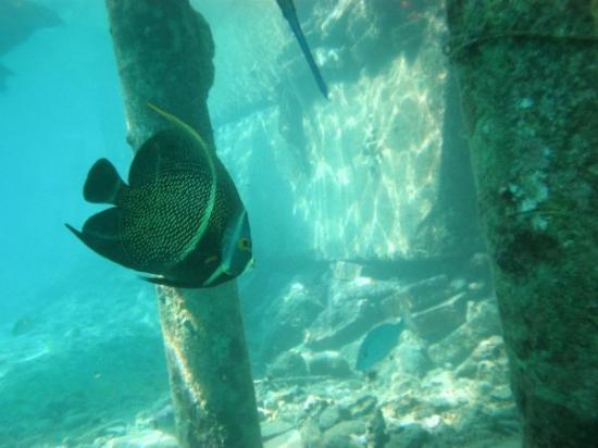Buddy Dive Resort: french angelfish