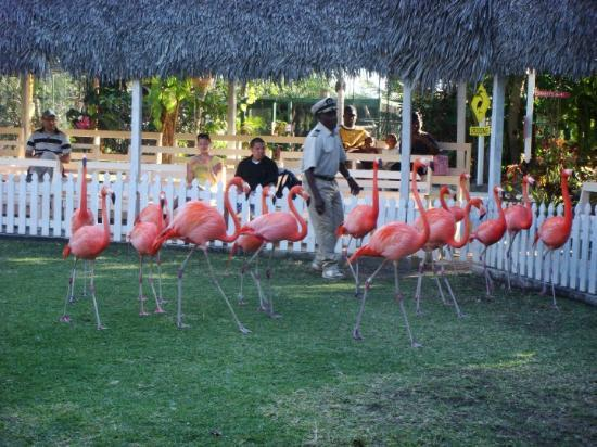 Ardastra Gardens, Zoo and Conservation Center: Marching flamingos at the Nassau zoo