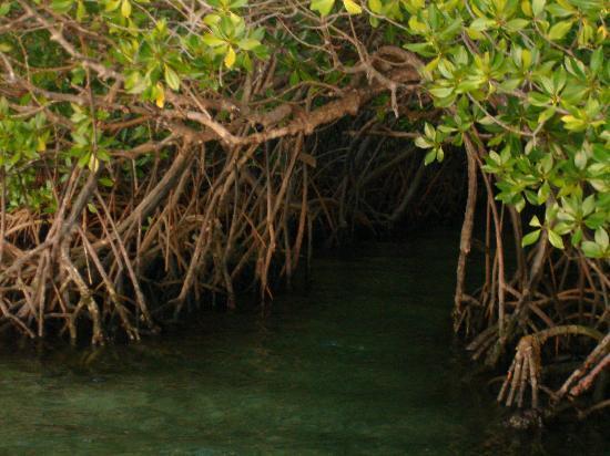 Majika's Island Resort: mangroves leading to hot springs