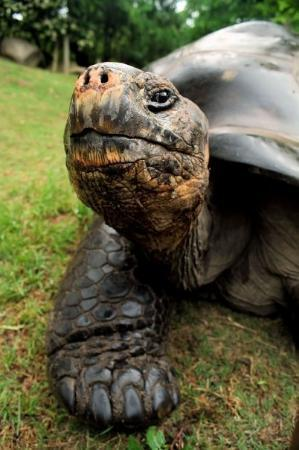 Riverbanks Zoo and Botanical Garden: The Old Timer - Local Galapagos Tortoise, Columbia, SC