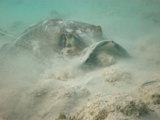 Image Gallery stingray eating