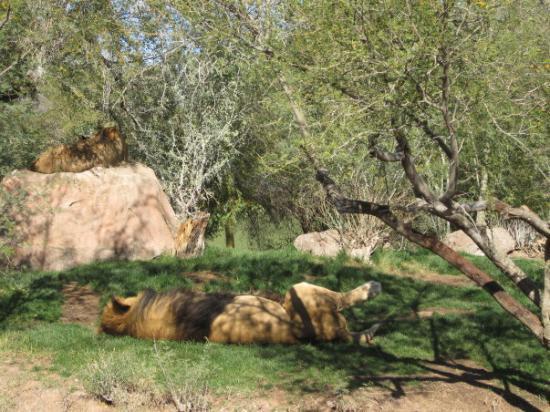 Phoenix Zoo - African Lions