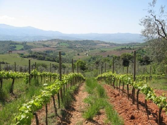 Tuscan Wine Tours by Grape Tours: Rows of grapes at organic farm