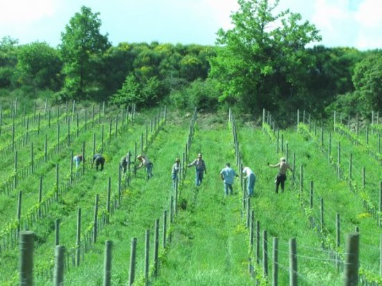 Tuscan Wine Tours by Grape Tours: Group picking grapes