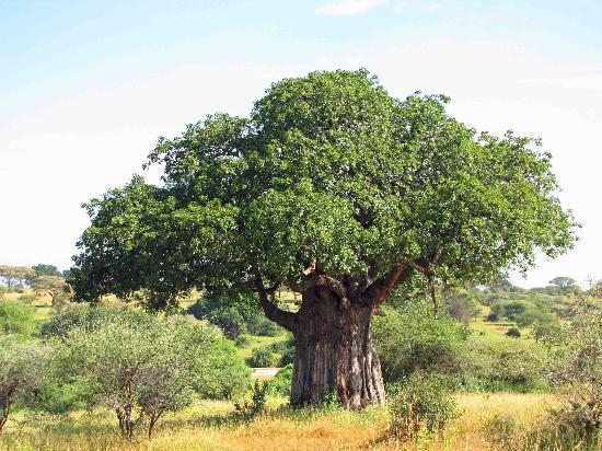 Tree of Life - Baobob