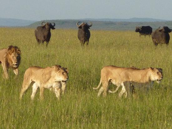 Wildlife Kenya Safaris - Day Trips: Pride on the hunt