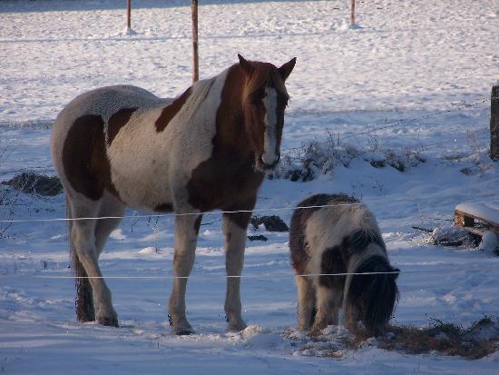 Auberge Francopole: Chevaux, poney, mouton et chêvres profitent des immenses pâtures.