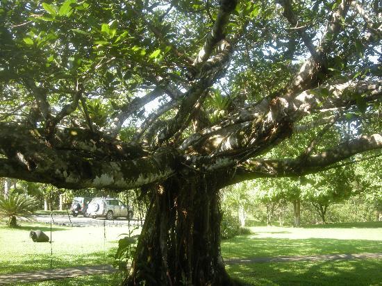 Blue Banyan Inn: Banyan Tree