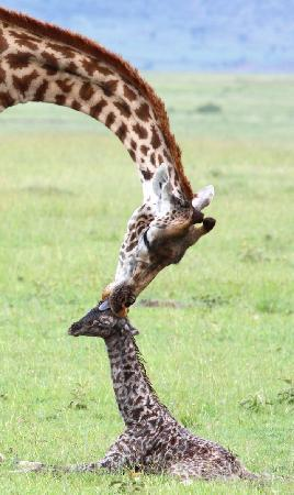 Kicheche Mara Camp: New born giraffe