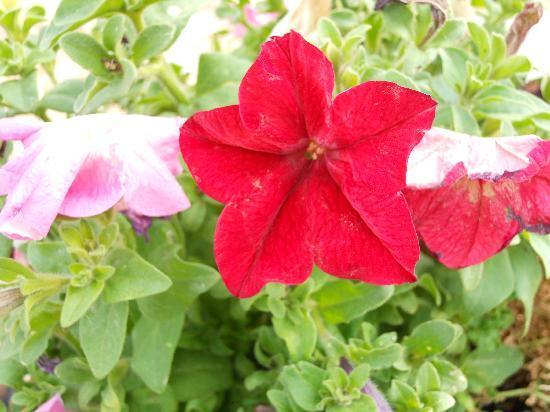 Hotel del Coronado: Beautiful flowers at the Del