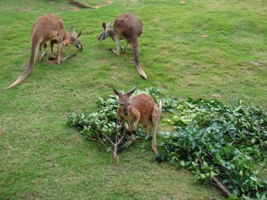 Guangzhou, Kina: kangaroo