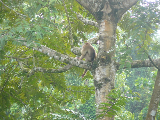 Tabin Wildlife Reserve: monkey in the trees