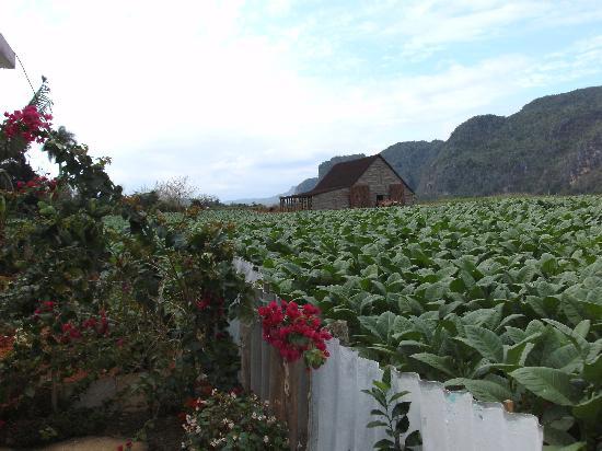 Casa Particular Lazaro y Neri: vue  sur le champ de tabac