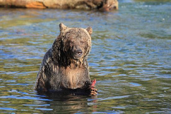 Kaslo, Canadá: A grizzly bear