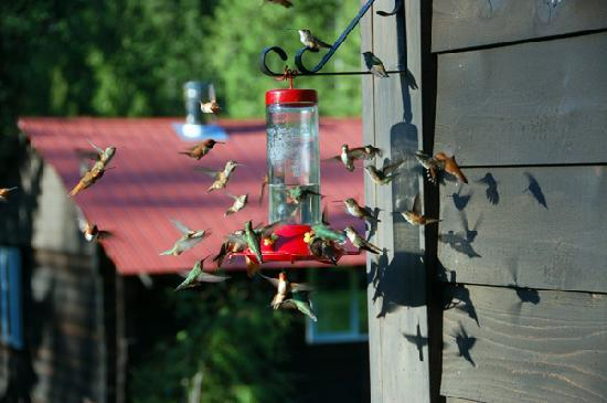 Kaslo, Καναδάς: Our hummingbirds