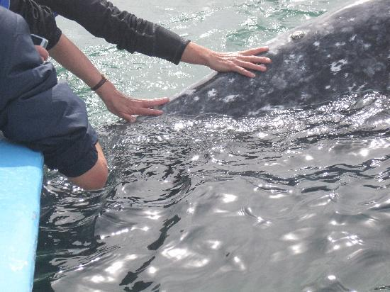 Ecoturismo Kuyima S.P.R. de R.L.: Touching a baby whale