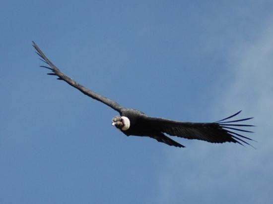 the andean condor a wingspan of 3m picture of arequipa arequipa