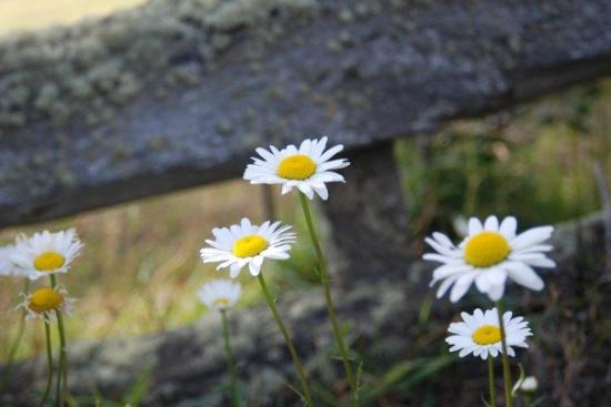 Puerto Natales, Chile: Daisies