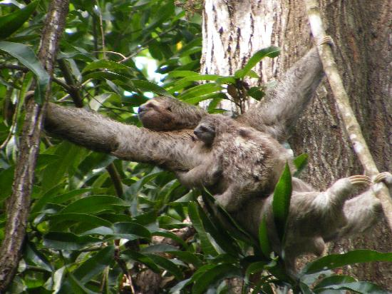‪أريناز ديل مار بيتشفرونت آند رينفوريست: Mother & baby sloth in tree near parking lot‬