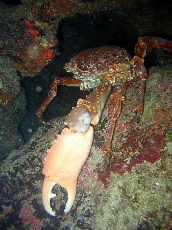 Seagrape Plantation Diveshop: Crab