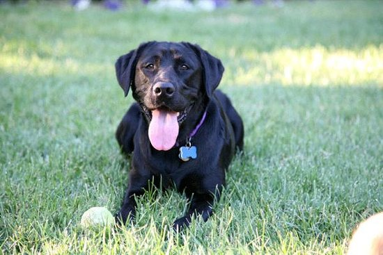Big Dog's Draft House: Lacey the Labby