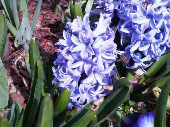 Dallas Arboretum & Botanischer Garten: Hyacinth and bee @ Arboretum