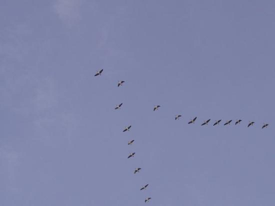 Tendoy, ID: Canadian Geese heading south