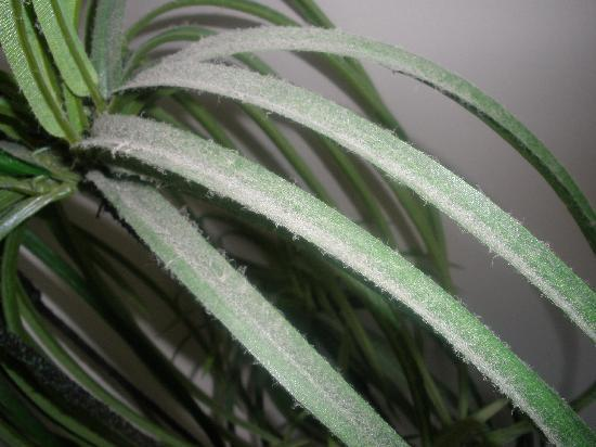 Maroochydore, Australien: our pet pot plant look at that dust, it was all over the room,this is next t the bed :S