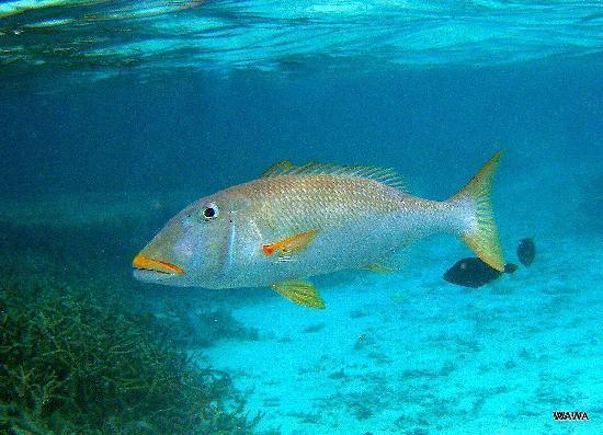 Ypao Beach Park: イパオビーチ沖のサンゴ礁の大型魚(イエローリップ・エンペラー)