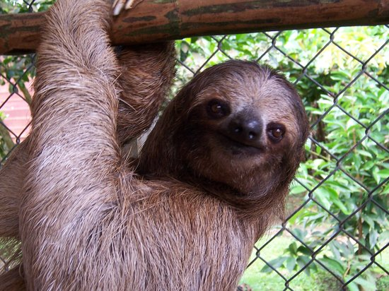 Cahuita, Costa Rica: 3 fingered sloth