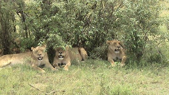 Mara Plains Camp: Lions
