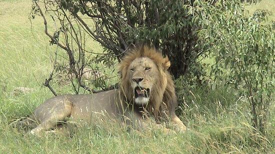 Great Plains Conservation Mara Plains Camp : Male Lion