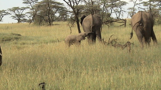 Mara Plains Camp: Elephant Family
