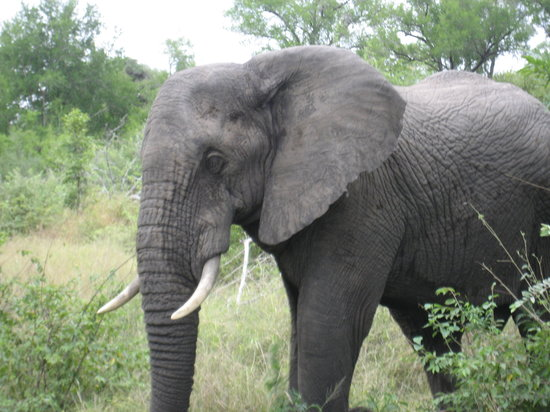 George, Afrique du Sud : The first (of many) elephant right when we drove into the gate walking by our truck.