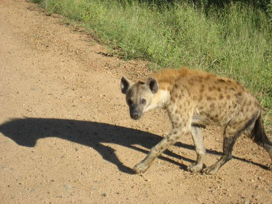 Parque Nacional Kruger, Sudáfrica: Hyena in the morning