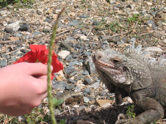 Water Island Adventures: Feeding a pregnant iguana during a break