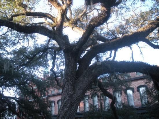 Savannah, GA: live oak