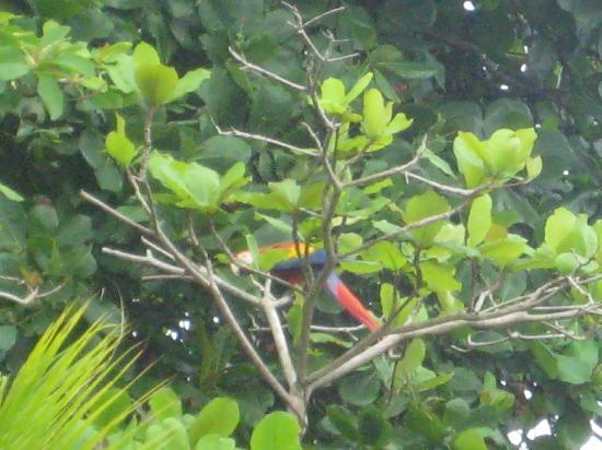 Jinetes de Osa Hotel: Scarlet Macaw outside our room