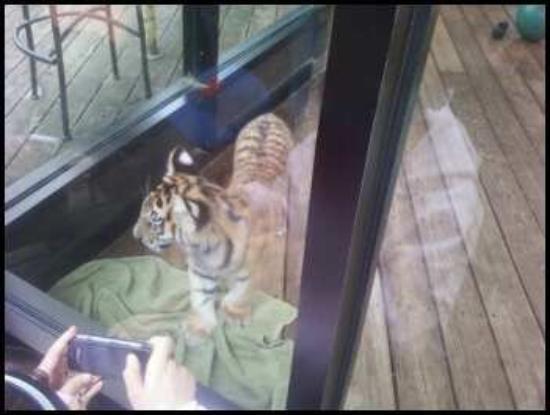 North Myrtle Beach, SC: Baby Tiger